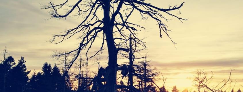 tre i solnedgang, ryggplager